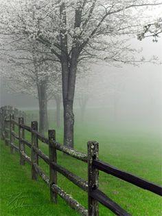 Flowering Trees in Fog