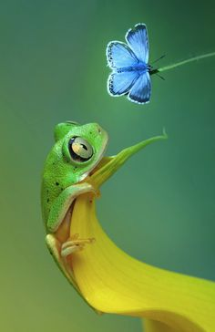 Tree Frog and Chalkhill Blue Butterfy