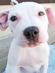 Bijou has been adopted! Bijou is an adoptable Pit Bull Terrier Dog in Detroit, MI. Little Bijou is a survivor! A volunteer witnessed a man dumping her and her two sisters in a church parking lot and took them home. Unfortuna...