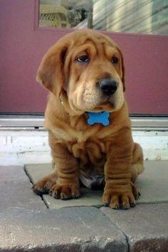 A ba-shar (basset hound/shar pei mix). Holy Cuteness!
