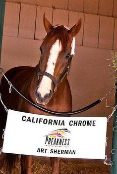 Athlete! California Chrome!