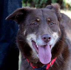 Copper is a 4 year old aussie who came to us as an owner surrender to a shelter. We took her out along with the Great Pyrenees she came with under the no dog left behind policy. Copper is a beautiful aussie - she is tailless, and we don't think she's missed many meals at 55 pounds. She is playful, friendly and social with all except cats. She is way too interested in cats for our comfort, so she will only be adopted to a no cat home. She is great with people of all ages and ...