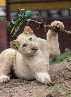 Young White lion (panthera leo) by Jean-Claude Sch.