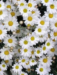 Chamomile has long been planted as a ground cover in Europe.  There is nothing like the soft feel underneath your feet and the pleasing aroma to accompany every step.  An excellent substitution for grass in smaller yards too! $1.99