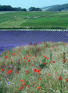 Lavender field at Lordington Farm, West Sussex