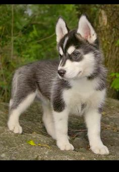 Little Siberian Husky puppy! Oh my goodness! Have had one and now a Malamute,,,,,,, Husky had the best temperament.
