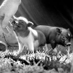 Baby Pigs, 6 Days Old, Pigs Photo, Pig Art