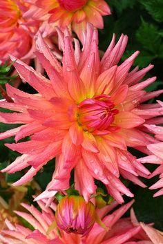 ~~Dahlia 'Brookside Cheri' | salmon pink Cactus Dahlia