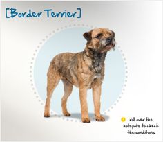 "Did you know the ""border"" country refered to in the Border Terrier's name is between England and Scotland? Read more about this breed by visiting Petplan pet insurance's Condition Checker!"