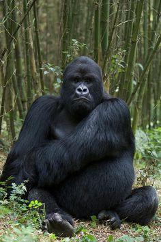 Mountain Gorilla...Master of his domain...