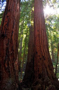 Muir Woods, this looks just like the photo I took