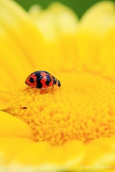 Yellow Flower with Lady Bug #yellow