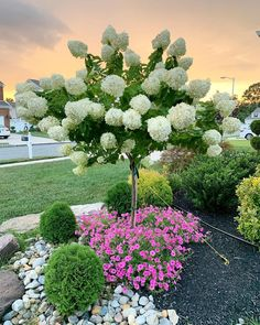 "Good Path Garden ~ Bonaccorsi on Instagram: ""Happy Sunday, y'all! Here's another shot of our Limelight Hydrangea on standard with the #supertunia Vista Bubblegum. I'm so thrilled with…"""