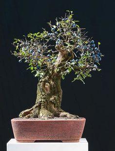 blueberry bonsai