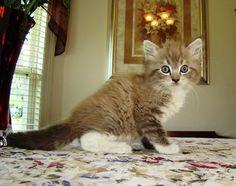 Love Ragdolls LynxalotSeal Mitted Lynx Mink Male - Ragdolls - Ragdoll Cats and Ragdoll Kittens and Ragdoll Breeders for Sale