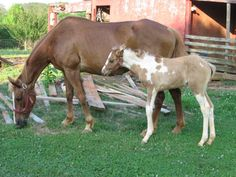 Paint horse. Mother and foal