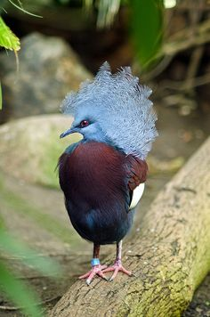 Maroon-breasted #Crowned #Pigeon ~ New Guinea, wow, makes oour pigeons look like commoners, hahahaha