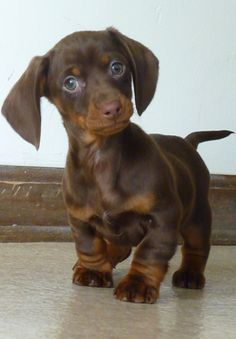 When I saw this sweet little pic of a chocolate and tan wiener pup pop up on pinterest I HAD to repin!