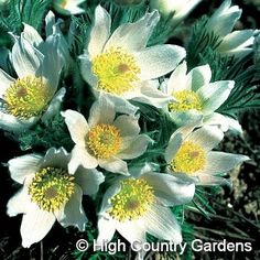 "8-10"" x 8-10"" w. (seed propagated). A bright white-flowered form of Pasque Flower. 'Alba' is a superb color companion for planting with white flowering bulbs for a spring moon garden or over blue flowered groundcovers like Veronica. Zones 4-8. 3"" deep Standard pot."