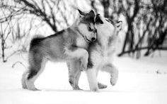 Husky pups playing in the snow..how cute!