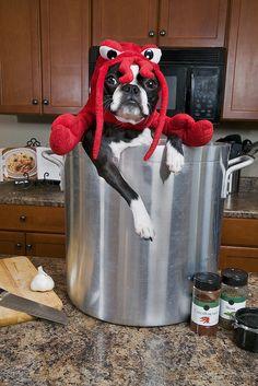 Boston Terrier as lobster ::snicker::