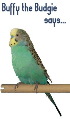 all about parakeets