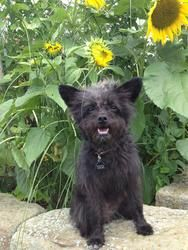 Darcie is an adoptable Cairn Terrier Dog in Wooster, OH. Darling little Darcie came to us from a rural Ohio shelter where her options were few. She has since stolen the heart of everyone she meets.  D...