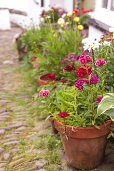 potted Sweet William