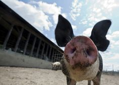 A Berkshire mix hog enjoys the morning sun at Windhaven Farm in Windsor. Pete Edwards, who runs Windhaven Farm in Windsor, has been farming hogs for 45 years. The hogs spend about six to eight months at Edwards' farm before being sent to slaughter. (Photo by Kaitlin McKeown/Daily Press)