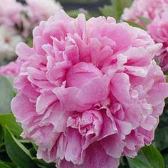 How to Grow + Care for Peonies   (Peonies can live for 40 to 50 years)