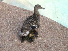 Ducklings under Momma Duck