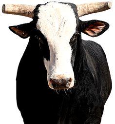 PBR Bucking Bull Of The Year Bones