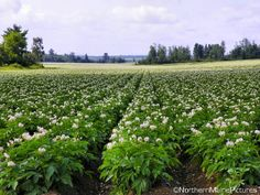 Potato field in Aroostook County