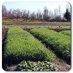 Organic Oats Cover Crop