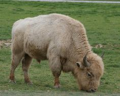 Powerful, rare symbol: White buffalo born in * Texas *   one in 10 million, born on Arby Little Soldier's ranch in Hunt County, he is part Mandan Indian, part Lakota; he says he is also a great grandson of Sitting Bull