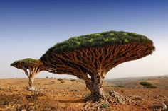 Dragon Blood Tree, named for its red sap, is only found on the Island of Soqotra, Yemen.