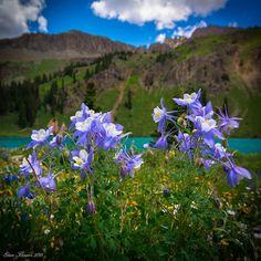 Steve Flowers, Colorado Dreamin!! Happy healthy columbines at Lower Blue Lake. Elevation 10,900ft Mt. Sneffels Wilderness Ridgway Colorado