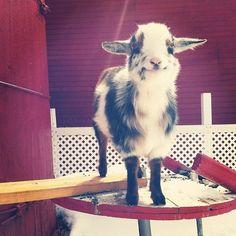 happy little goat.