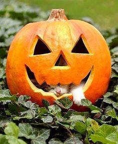 Pumpkin Nappin kitten inside a carved pumpkin