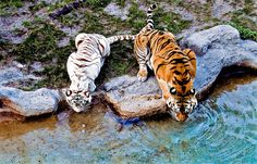 white tiger, orange tiger