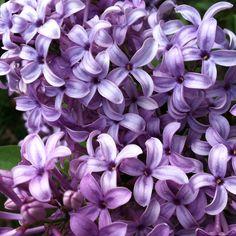 pretti thing, smell lilac