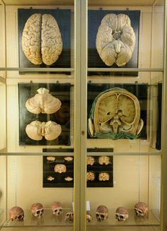 Luigi Cattaneo Museum, Institute of Human Anatomy, Bologna