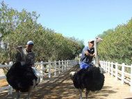 Ostrich racing has been a part of the Virginia City International Camel Races since 1962.