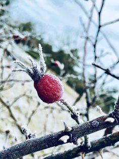 Winter Rosehip 3