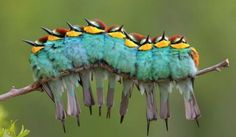 Caterpillars? Birds?  Its actually a group of European Bee-eaters cuddling together on a small tree branch. The birds do look so much like a caterpillar though, that photographer Jos Luis Rodrguez named the image Oruga de Plumas, or caterpillar of feathers. communing-over-the-internet