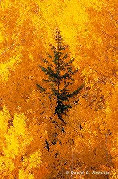 """Lone Pine"" Dixie National Forest, Utah - David C.  Schultz      gold, yellow"