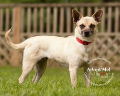 Bella is an adoptable Chihuahua Dog in Wooster, OH. Bella came to us from a rural Ohio pound.  She is about 15 pounds, about 3 years old and a very striking dog.  We think that she could be a Chug - P...