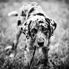 animals, anim babi, dogs, puppy dog eyes, black and white puppy, pet, catahoula puppies, ador, animal babies