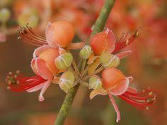 Retama Caper    Genus:  Capparis   Species:  decidua   Family:  Capparaceae    Flowering Distrebution:  Dead Sea & Judah desert   Flower Color: Red  Protected Flower: Yes  Life Form: Shrub      http://www.tiuli.com/flower_info.asp?lng=eng_id=824