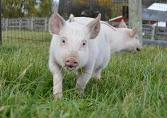 Help factory farm animals with Farm Sanctuary!